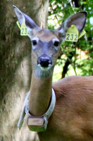 deer with ear tags